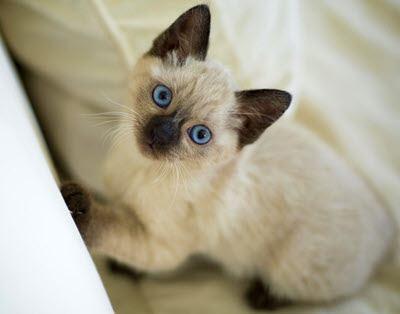 china misi gato hembra quechua