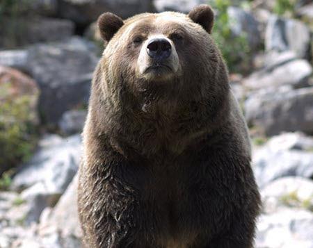 hatun ukuku oso grande quechua