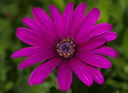 kulli tika flor morada quechua