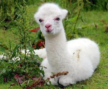 llama una china tullu yuraq llama pequena hembra flaca blanca quechua