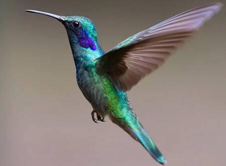 qinti colibri quechua