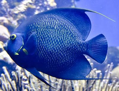 taksa anqas challwa pez mediano azul quechua