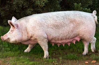 taksa kuchi cerdo mediano quechua