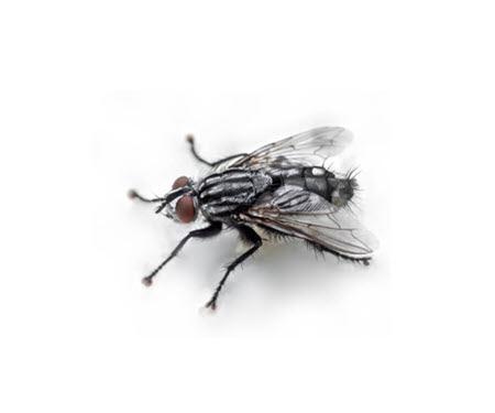 uchuy uqi chuspi mosca pequena ploma quechua